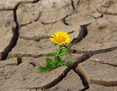 a little yellow flower growing from cracked, dried up mud